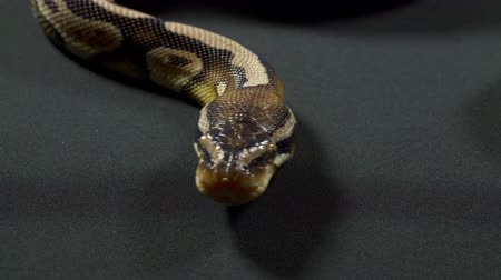 ragadozó : Video of royal python on dark