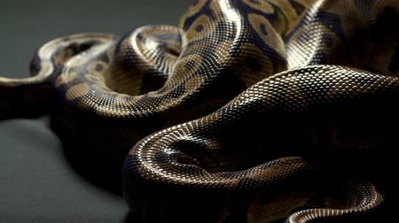 ползком : Video of ball python on dark background