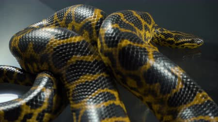 ragadozó : Closeup video of breathing yellow anaconda