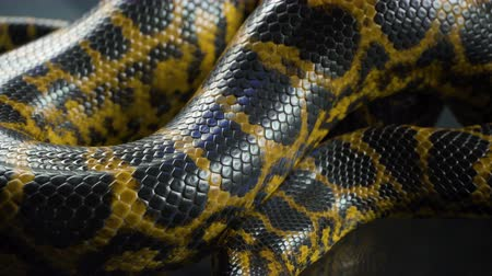respiração : Shooting of breathing yellow anaconda, skin pattern