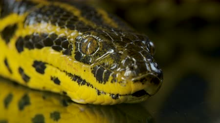 боа : Closeup video of yellow anacondas head