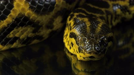 boa : Closeup video of looking at camera yellow anaconda