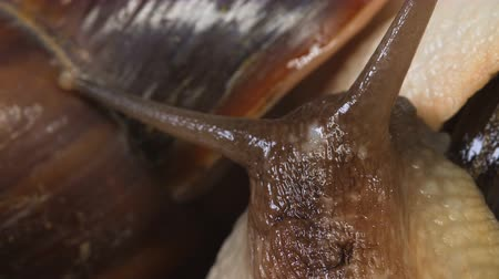 boynuzları : Video Shooting of Achatina snails on black background