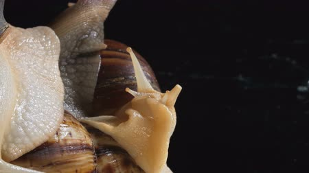 ползком : Close up Shooting of Achatina snails in dark