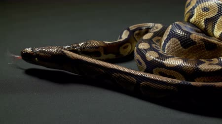 ползком : Video of ball python on dark table Стоковые видеозаписи