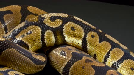 knoten : Video von Ball Python in der Dunkelheit Videos