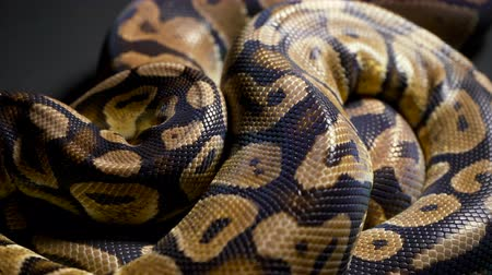 ползком : Footage of ball python on dark texture Стоковые видеозаписи
