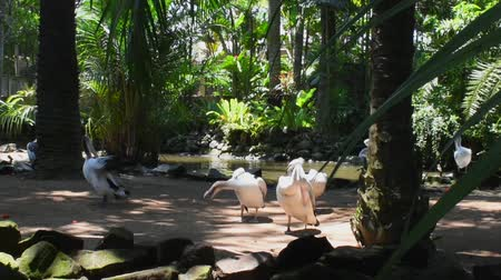 tasmania : Australian white pelican family at the zoo