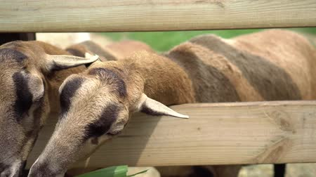 birkahús : In the sunny morning, sheeps eat grass, inside the wood fence.In the pasture. In Asia.