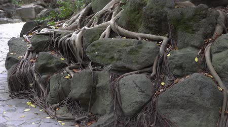 gigante : Roots, stones, dirt and fallen leaves in the park. Natural landscape in Asia.