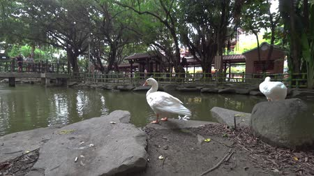 bantam : Duck on rural farm. Countryside in Asia. Shooting with Action Camera and 3-Axis gimbal stabilizer.
