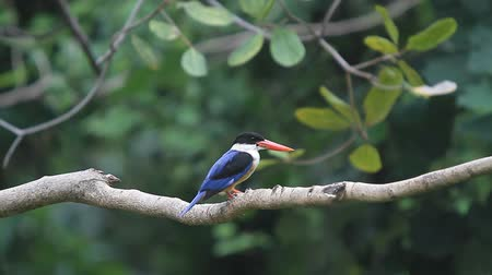 martin pescatore : pileata Kingfisher Halcyon Black-capped