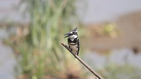 martin pescatore : Pied Kingfisher Ceryle rudis in natura