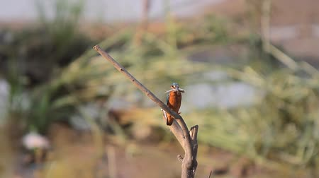 atthis : common kingfisher