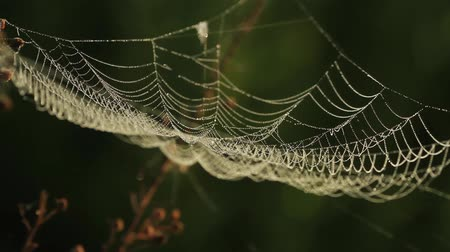 spider web : Spider web shaking on wind in forest Stock Footage