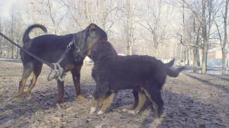 taranmamış : Bernese shepherd dog puppies meeting rotveler