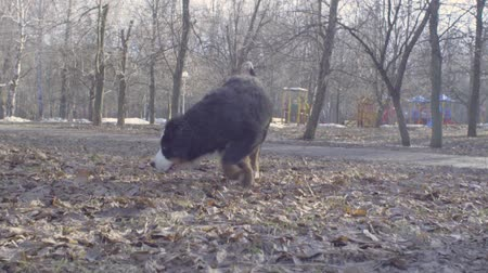 taranmamış : Bernese shepherd dog puppies playing with a stick Stok Video