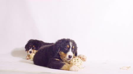 juhászkutya : Two puppies of a bernese shepherd dog playing on a floor