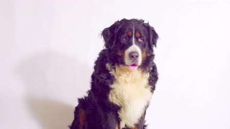 язык : Bernese sheepdog sitting and looking around