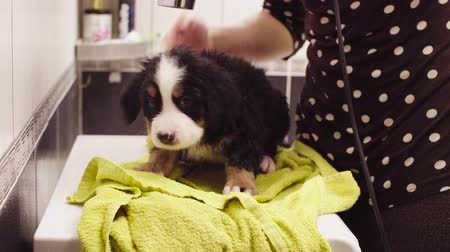 купание : Young woman wiping a puppy with a towel