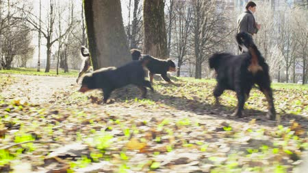 mama : Woman walking with bernese shepherd dog puppies