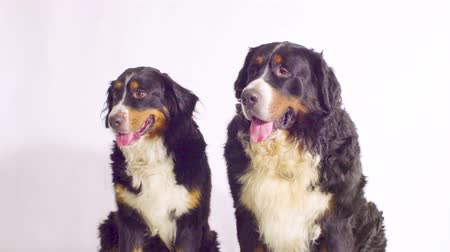 juhászkutya : Dog and bitch - bernese sheepdogs couple Stock mozgókép