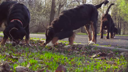 rozmazaný : Bernese shepherd dog and her puppies in a park