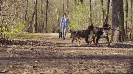 taranmamış : Woman walking with bernese shepherd dog puppies