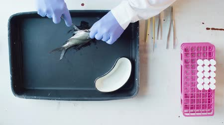 haşarat : A biologist cutting the abdomen of the fish