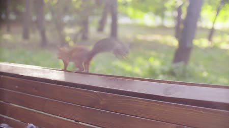 gnawer : Cute Red Squirrel jumping in a park Stock Footage