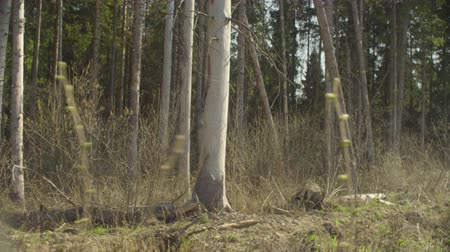 konzervace : Injury tree trunks on the forest felling in spring