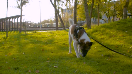 морда : Dog walking on a leash in the park
