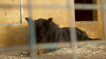 enclosure : Shaggy dog lying in its cage Stock Footage