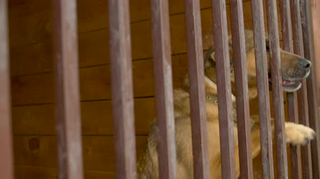 taranmamış : A dog in an aviary in a dog kennel scratches the fence Stok Video