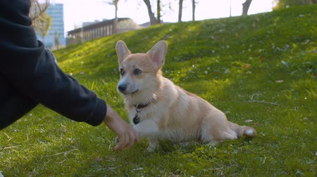 fiel : Corgi and its owner on the grass
