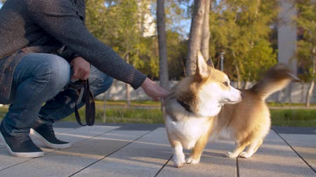 obediente : The man and the corgi dog in the park Vídeos