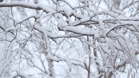 Close up birch tree branches under the snow, snowfall in the park. Snow falling on the trees. Winter background
