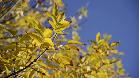 ginkgo leaf : Warm colors moving autumn leaves close up over bright blue sky. Full HD 1920x 1080 video.