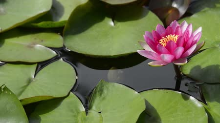 pétalas : Garden water pond with moving lotus lily flower and green pads.