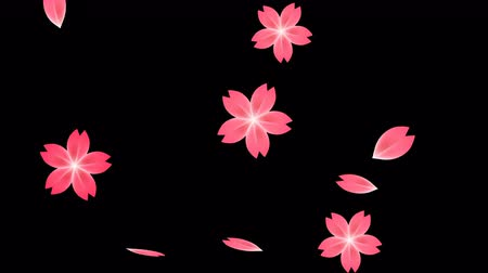 Pink plum blossom flower petals falling on black background, spring traditional Asian or japanese cherry flowers flying down in dynamic motion. Seamless loop footage. Wideo