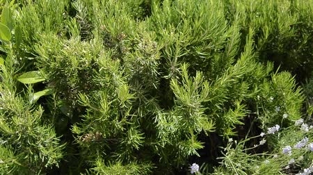 koření : Green perennial rosemary grass in the garden, delicious spice