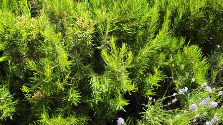 aromatik : Green perennial rosemary grass in the garden, delicious spice