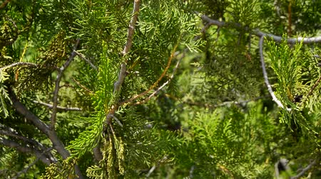 cipreste : Juniper berries on a branch