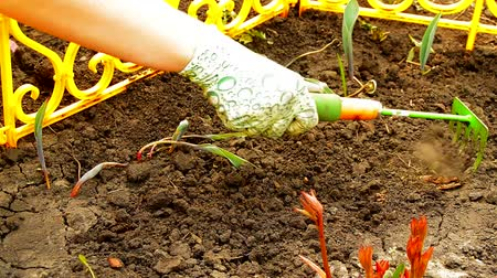 grabie : Womens hands in gloves loosening rake soil in a flower bed with sprouted flowers, spring work in the garden