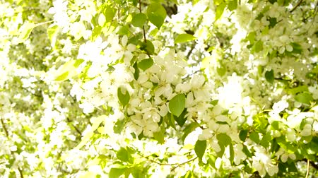 Солнечный день : White blossoming Apple branches in spring with a light wind. Close-up of a twig moving. Apple tree branch in bloom in spring on a Sunny day
