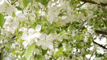 Beautiful Apple branches in bloom in the garden in spring. Beautiful white flowers bloom, the sun shines through the leaves