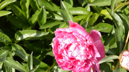Blooming peony Bush WITH PINK FLOWERS, BRIGHT SUNLIGHT at NOON IN a SUMMER GARDEN, the FLOWER SWINGS FROM the WIND Stock mozgókép