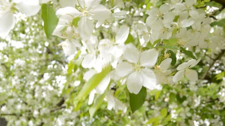 Beautiful Apple branches in bloom in the garden in spring. Beautiful white flowers bloom, the sun shines through the leaves.