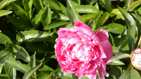 estames : Blooming peony Bush WITH PINK FLOWERS, BRIGHT SUNLIGHT at NOON IN a SUMMER GARDEN, the FLOWER SWINGS FROM the WIND Vídeos