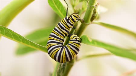 lagarta : caterpillar on a milkweed plant, soon to be Monarch butterfly